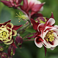 Columbine In Spring by Deborah Benoit