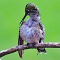 Combing His Feathers - Ruby-throated Hummingbird by Cindy Treger