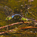 Come Along With Me Dragonflies by Reid Callaway