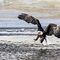 Coming In For The Catch by David Heemsbergen