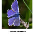 Common Blue Butterfly by Nigel Dudson