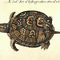 Common Box Tortoise, 1585 by Granger