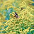 Common Buckeye Butterfly Hides In The Goldenrod by Kerri Farley