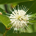 Common Buttonbush by Lynda Dawson-Youngclaus