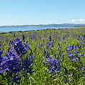 Common Camas Meadow With Harbor by Cascade Colors