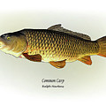 Common Carp by Ralph Martens