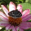 Common Checker Butterfly by Donna Brown