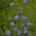 Common Chicory Wildflowers #1 by Irwin Barrett