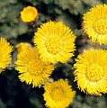 Common Coltsfoot  by American School