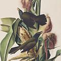 Common Crow by John James Audubon