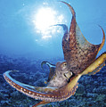 Common Cuttlefish by Dave Fleetham - Printscapes