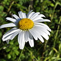 Common Daisy by Penny Neimiller