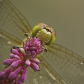 Common Darter Dragonfly by Andy Astbury