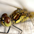 Common Darter  Dragonfly Compound Eye And Synthorax by Hugh McKean