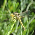 Red Veined Darter Dragonfly On Crete by Paul Cowan