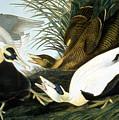 Common Eider, Eider Duck by Granger
