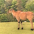 Common Eland by Lisa Byrne
