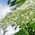 Common Elderberry Flowers by Mhiss Little