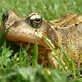 Common Frog Rana Temporaria by Mike Lester