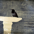 Common Grackle by Gothicrow Images