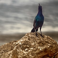 Common Grackle by Mark Fuge