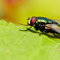 Common Green Bottle Fly  by Nick  Biemans
