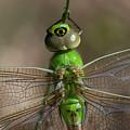 Common Green Darner by Robert Potts