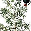 common juniper, Juniperus communis by Bildagentur-online