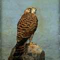 Common Kestrel by Perry Van Munster