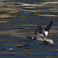 Common Merganser Duck by Peter Gray