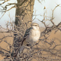 Common Mockingbird by Robert Frederick
