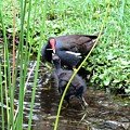 Common Moorhen And Chick by Beth Williams