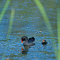 Common Moorhen And Her Baby by John Harmon