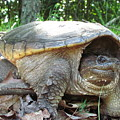 Common Snapping Turtle by Joshua Bales