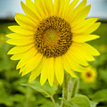 Common Sunflower by Chris Coffee