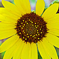 Common Sunflower In Northwest North Dakota by Ruth Hager