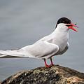 Common Tern by Torbjorn Swenelius