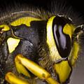 Common Wasp Vespula Vulgaris Close-up by Gabor Pozsgai