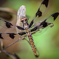 Common Whitetail Dragonfly by Phil and Karen Rispin