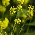 Common Wintercress Flowers by Christina Rollo