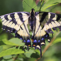 Common Yellow Swallowtail by Deborah Benoit