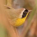 Common Yellow-throat In Hiding by Alan Lenk