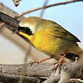 Common Yellowthroat #2 by Bob Zeller