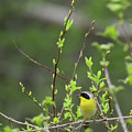 Common Yellowthroat by Bill Wakeley