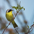 Common Yellowthroat by Clifford Pugliese