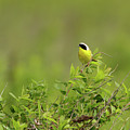 Common Yellowthroat - Male by Beve Brown-Clark Photography