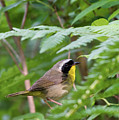 Common Yellowthroat Warbler 3 by Bill Wakeley