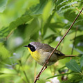Common Yellowthroat Warbler 4 by Bill Wakeley