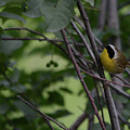 Common Yellowthroat by Whispering Peaks Photography