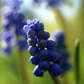 Compact Grape-hyacinth 2 by Jouko Lehto